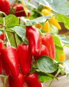 Capsicum annuum Red 701