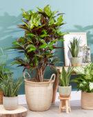 Codiaeum variegatum Excellent