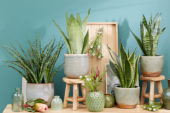 Sansevieria collection