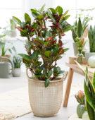 Codiaeum variegatum Petra