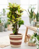 Codiaeum variegatum Mrs Iceton