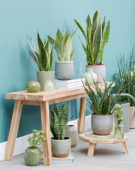 Sansevieria collectie