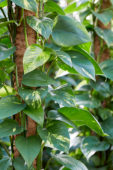 PhilodendronPhilodendron scandens Brazil