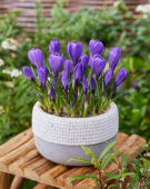 Crocus vernus Remembrance