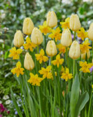 Tulipa Malaysia, Narcissus Winters Starlet