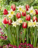 Tulipa Christmas Gift, Narcissus Johanna