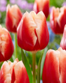 Tulipa Jan Buis