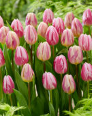 Tulipa Bojangles, Happy Feet