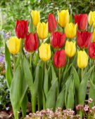 Tulipa Red Gold, Strong Gold