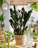 Zamioculcas zamiifolia Black Jungle Warrior