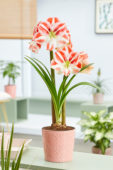 Hippeastrum Clown