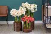 Hippeastrum combination