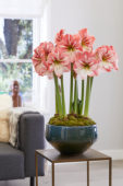 Hippeastrum Winter Delight