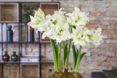 Hippeastrum Ice Queen