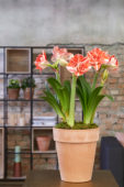 Hippeastrum Double Shine