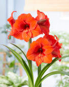 Hippeastrum Orange Souvereign