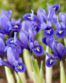 Iris reticulata Pixie