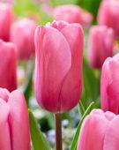 Tulipa Fortress