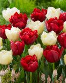 Tulipa Verona, Scarlet Verona