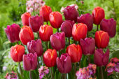 Tulipa Power Play, Bullit
