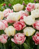 Tulipa Foxtrot, Mount Tacoma