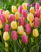 Tulipa Antoinette, Happy Family