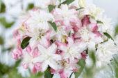 Lilium double oriental bouquet
