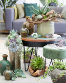Echeveria collectie