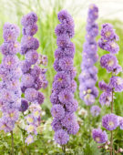 Delphinium Highlander Purple Surprise