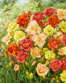 Hemerocallis double flowering