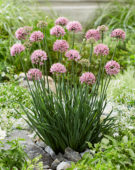 Allium Lisa Blue