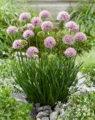 Allium Lisa Green