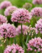 Allium Lisa Blue
