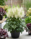 Astilbe Lowlands White