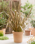 Phormium tenax Brown Sugar