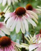 Echinacea Pretty Parasols