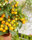 Solanum lycopersicum James F1 Yellow