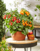 Solanum lycopersicum Heartbreakers™ F1 Dora Orange, Dora Red