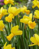 Narcissus Warbler