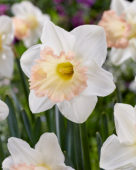 Narcissus British Gamble