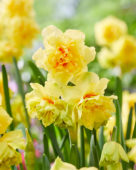 Narcissus Venetië