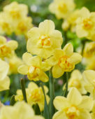 Narcissus Yellow Cheerfulness