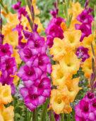 Gladiolus 036408, Z32725