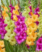 Gladiolus gemengd