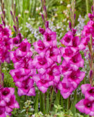 Gladiolus 036408