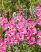 Gladiolus Early Charm