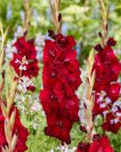Gladiolus 0315101 Mikel