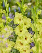 Gladiolus N28