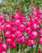 Gladiolus Pink Visions
