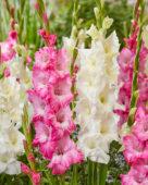 Gladiolus Serena, Violet King